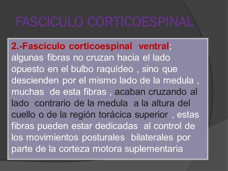 FASCICULO CORTICOESPINAL 2.-Fascículo corticoespinal ventral; algunas fibras no cruzan hacia el lado opuesto en el bulbo raquídeo, sino que descienden