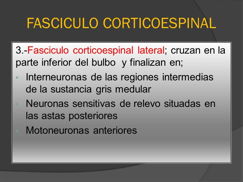 FASCICULO CORTICOESPINAL 3.-Fasciculo corticoespinal lateral; cruzan en la parte inferior del bulbo y finalizan en; Interneuronas de las regiones inte