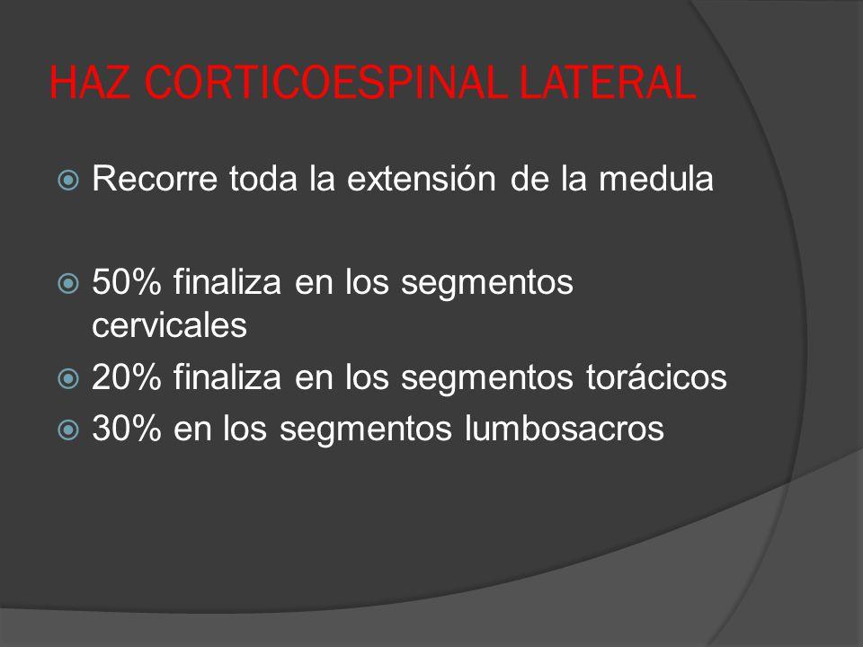 HAZ CORTICOESPINAL LATERAL Recorre toda la extensión de la medula 50% finaliza en los segmentos cervicales 20% finaliza en los segmentos torácicos 30%
