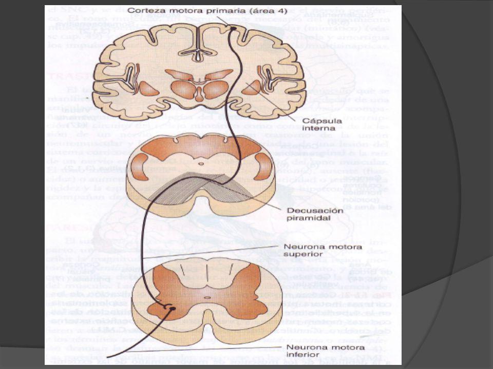Los ganglios basales, el tallo encefálico y el cerebelo reciben potentes señales motoras cada ves que se envía un impulso descendente a la medula OTRAS VIAS NERVIOSAS DESDE LA CORTEZA MOTORA A.