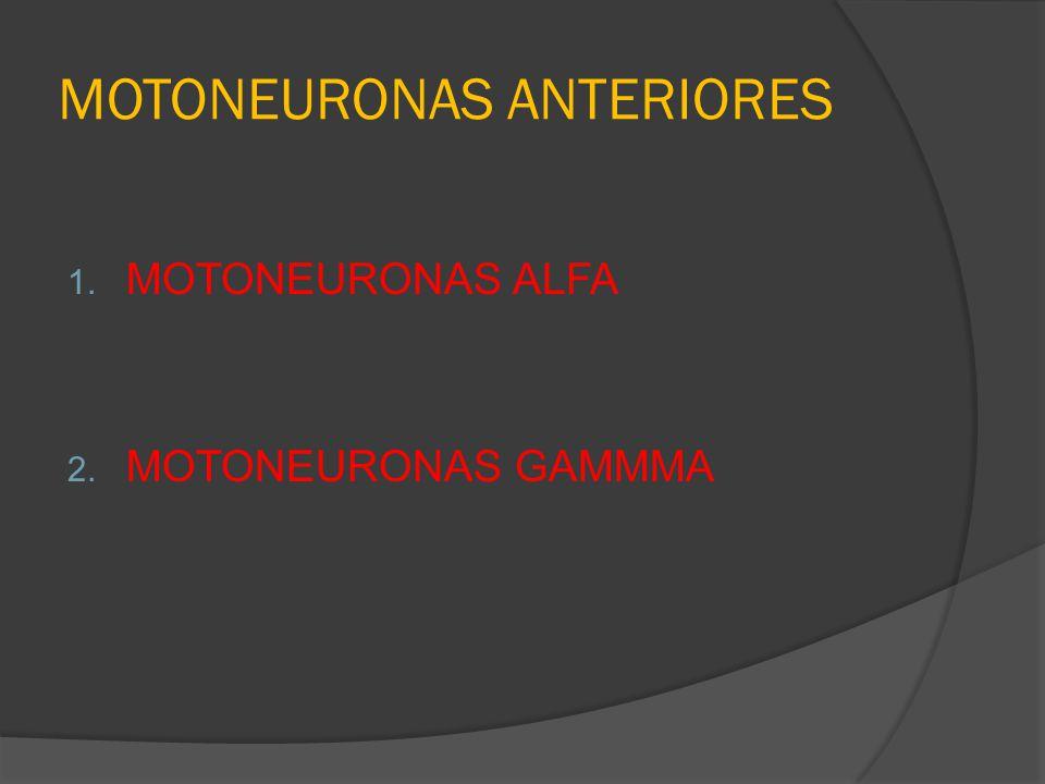 MOTONEURONAS ANTERIORES 1. MOTONEURONAS ALFA 2. MOTONEURONAS GAMMMA