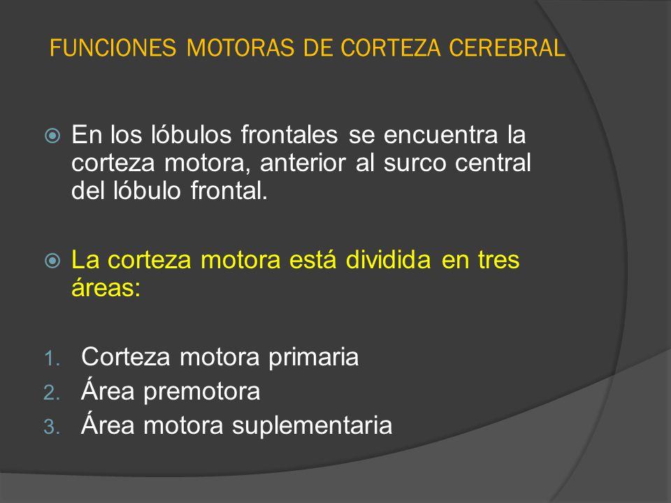 FUNCIONES MOTORAS DE CORTEZA CEREBRAL En los lóbulos frontales se encuentra la corteza motora, anterior al surco central del lóbulo frontal. La cortez