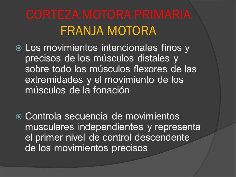 CORTEZA MOTORA PRIMARIA FRANJA MOTORA Los movimientos intencionales finos y precisos de los músculos distales y sobre todo los músculos flexores de la
