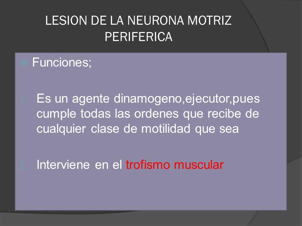 LESION DE LA NEURONA MOTRIZ PERIFERICA Funciones; 1. Es un agente dinamogeno,ejecutor,pues cumple todas las ordenes que recibe de cualquier clase de m