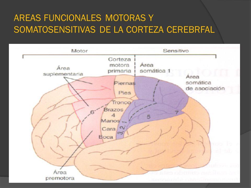 AREAS FUNCIONALES MOTORAS Y SOMATOSENSITIVAS DE LA CORTEZA CEREBRFAL