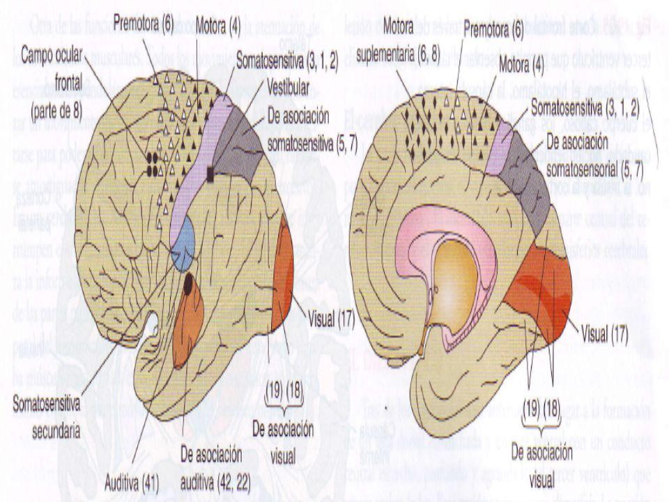 HUMUNCULO MOTOR La producción de lesiones aisladas de la parte mas posterior de la corteza motora primaria puede provocar una marcada debilidad de los grupos de los músculos flexores distales y una incapacidad permanente de llevar a cabo Tareas de manipulación delicadas con el lado opuesto del cuerpo o de la cara Las lesiones que se limitan a la parte mas anterior de la franja motora conducen a la debilidad de los músculos de mayor tamaño; las extremidades, la cintura pélvica o la columna vertebral