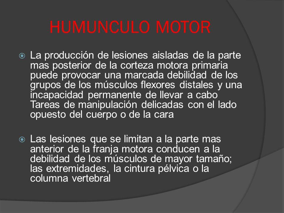 HUMUNCULO MOTOR La producción de lesiones aisladas de la parte mas posterior de la corteza motora primaria puede provocar una marcada debilidad de los