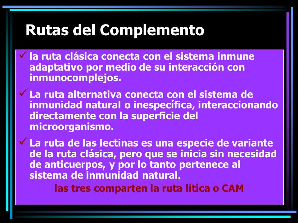 Rutas del Complemento la ruta clásica conecta con el sistema inmune adaptativo por medio de su interacción con inmunocomplejos. La ruta alternativa co