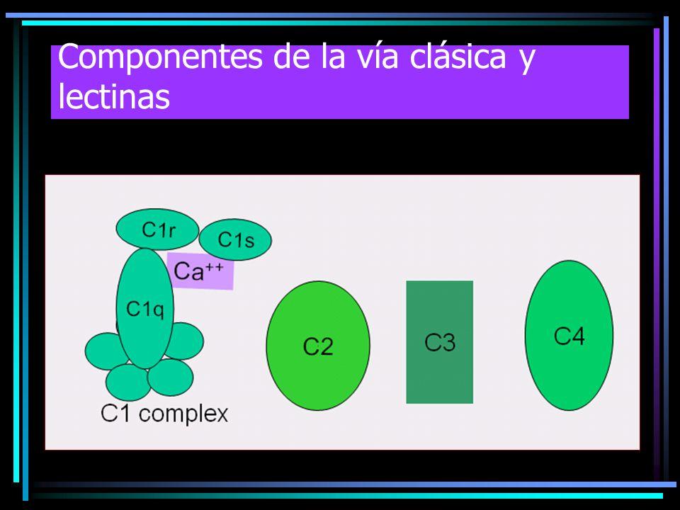 Componentes de la vía clásica y lectinas