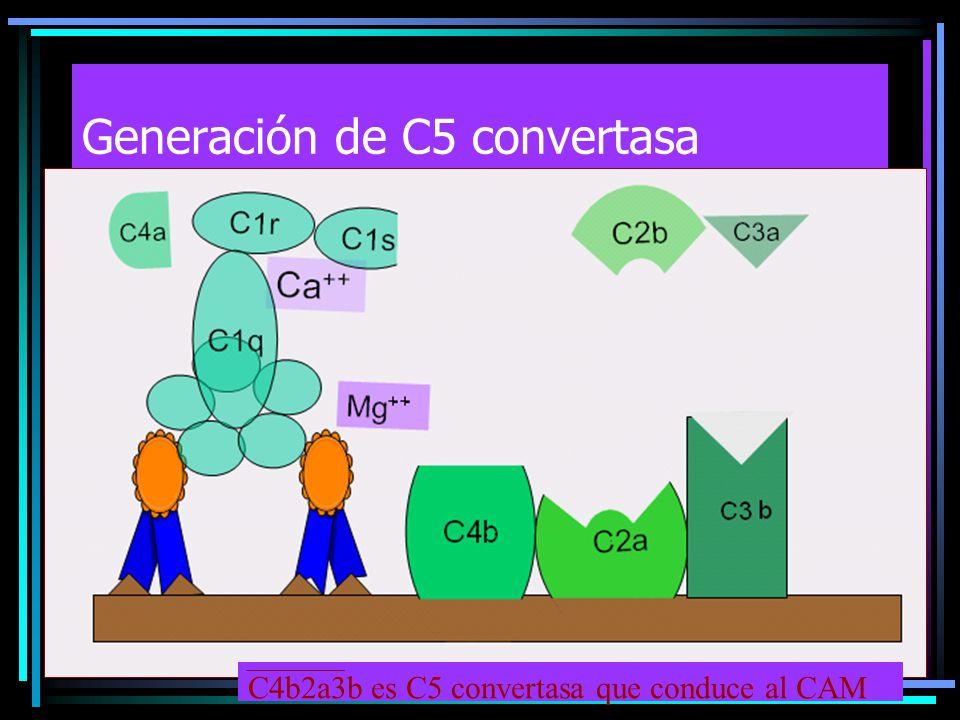 C4b2a3b es C5 convertasa que conduce al CAM
