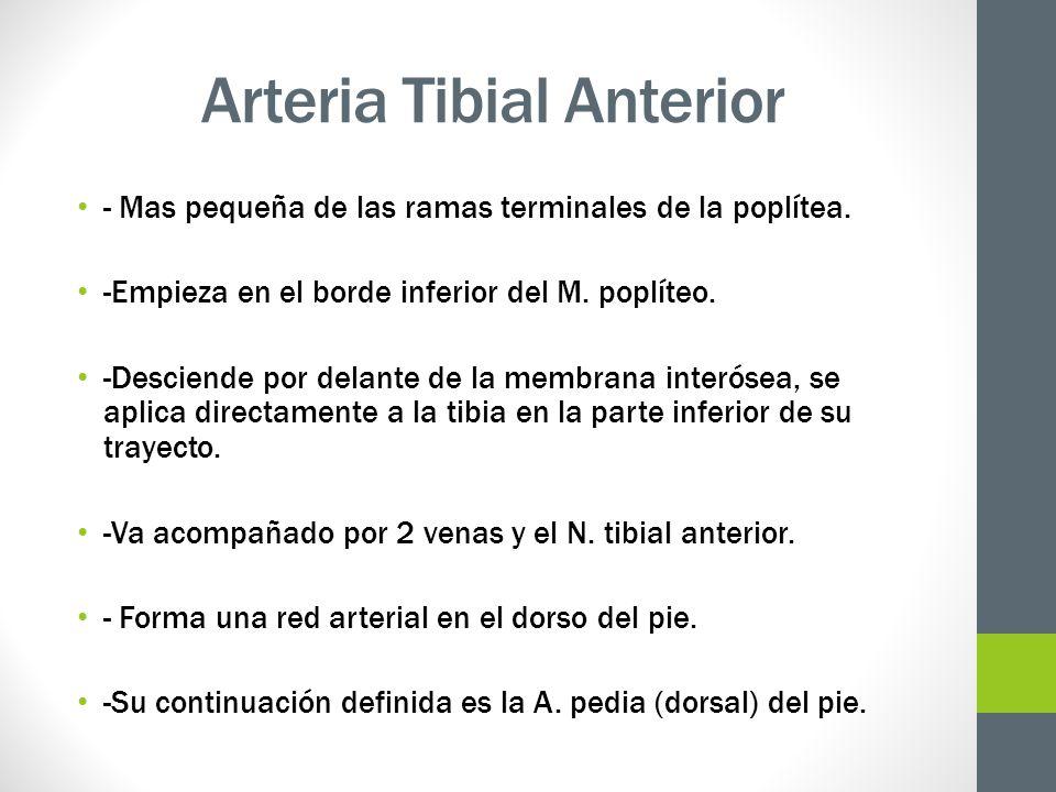 Arteria Tibial Anterior - Mas pequeña de las ramas terminales de la poplítea. -Empieza en el borde inferior del M. poplíteo. -Desciende por delante de
