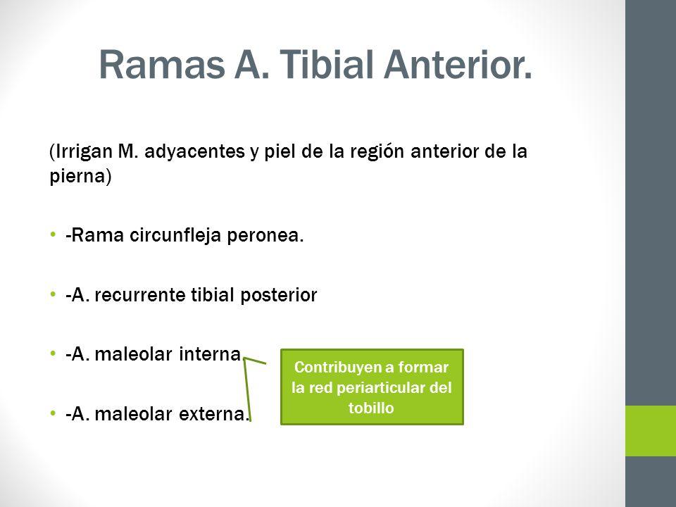 Ramas A. Tibial Anterior. (Irrigan M. adyacentes y piel de la región anterior de la pierna) -Rama circunfleja peronea. -A. recurrente tibial posterior