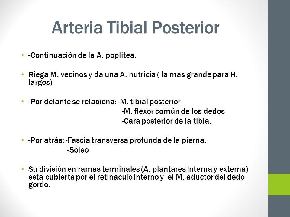 Arteria Tibial Posterior -Continuación de la A. poplitea. Riega M. vecinos y da una A. nutricia ( la mas grande para H. largos) -Por delante se relaci