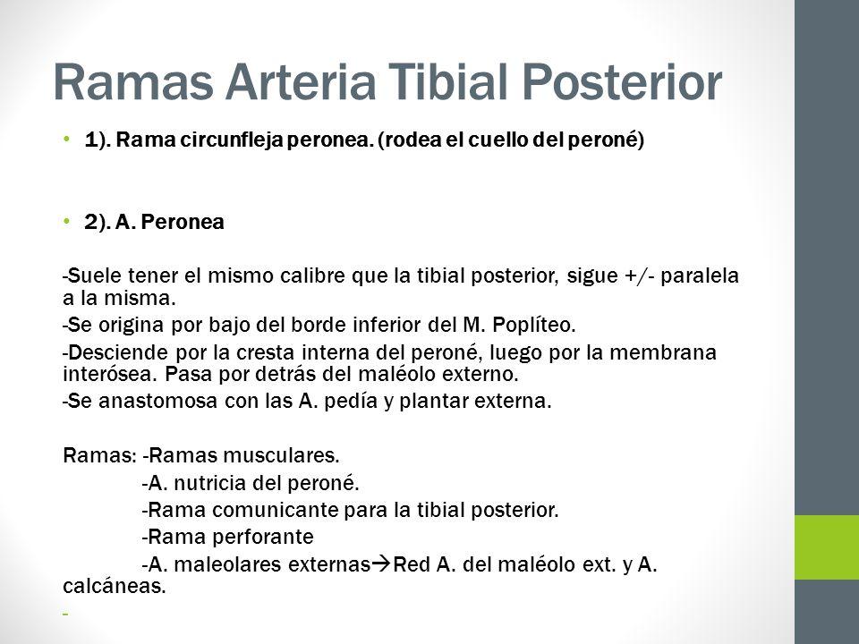 Ramas Arteria Tibial Posterior 1). Rama circunfleja peronea. (rodea el cuello del peroné) 2). A. Peronea -Suele tener el mismo calibre que la tibial p