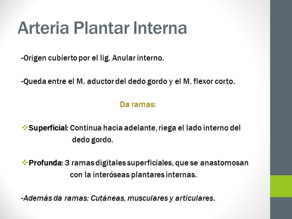Arteria Plantar Interna -Origen cubierto por el lig. Anular interno. -Queda entre el M. aductor del dedo gordo y el M. flexor corto. Da ramas: Superfi