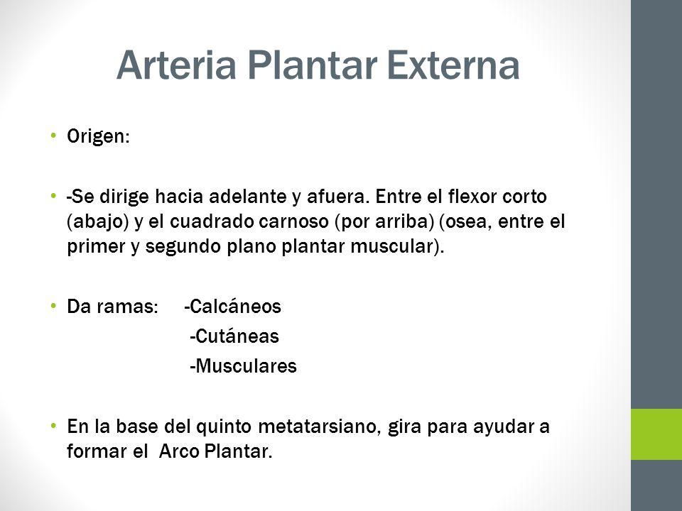 Arteria Plantar Externa Origen: -Se dirige hacia adelante y afuera. Entre el flexor corto (abajo) y el cuadrado carnoso (por arriba) (osea, entre el p