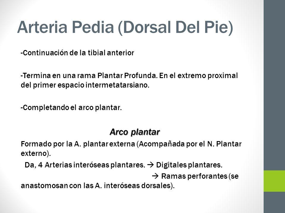 Arteria Pedia (Dorsal Del Pie) -Continuación de la tibial anterior -Termina en una rama Plantar Profunda. En el extremo proximal del primer espacio in