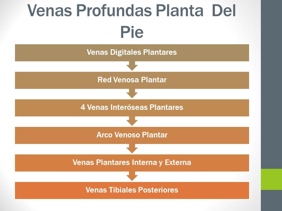 Venas Profundas Planta Del Pie Venas Tibiales Posteriores Venas Plantares Interna y Externa Arco Venoso Plantar 4 Venas Interóseas Plantares Red Venos