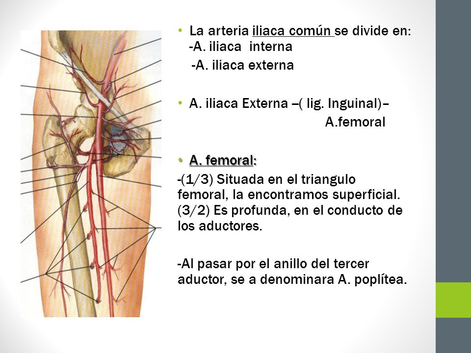 La arteria iliaca común se divide en: -A. iliaca interna -A. iliaca externa A. iliaca Externa --( lig. Inguinal)– A.femoral A. femoral: A. femoral: -(