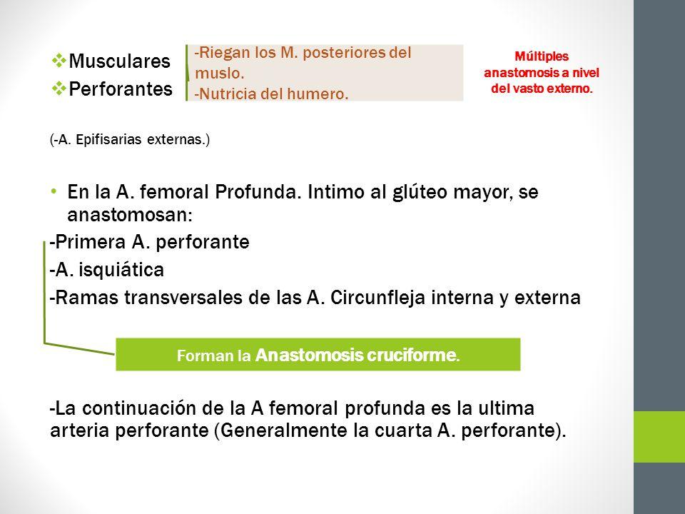 Musculares Perforantes (-A. Epifisarias externas.) En la A. femoral Profunda. Intimo al glúteo mayor, se anastomosan: -Primera A. perforante -A. isqui