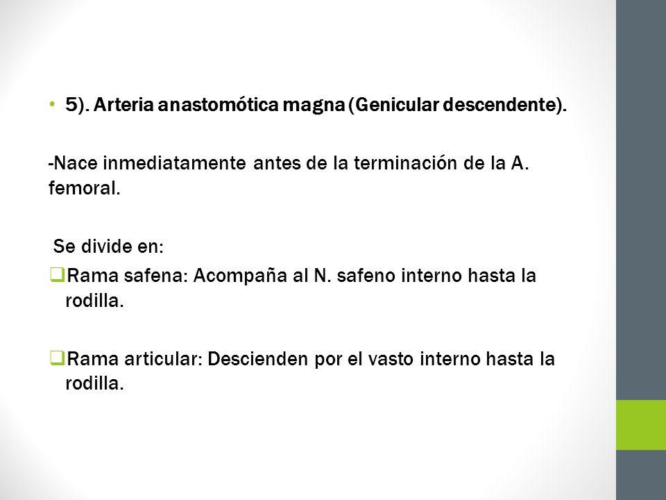 5). Arteria anastomótica magna (Genicular descendente). -Nace inmediatamente antes de la terminación de la A. femoral. Se divide en: Rama safena: Acom