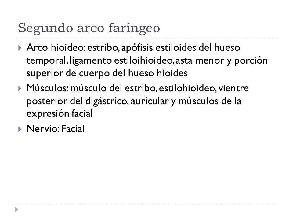 Segundo arco faríngeo Arco hioideo: estribo, apófisis estiloides del hueso temporal, ligamento estiloihioideo, asta menor y porción superior de cuerpo