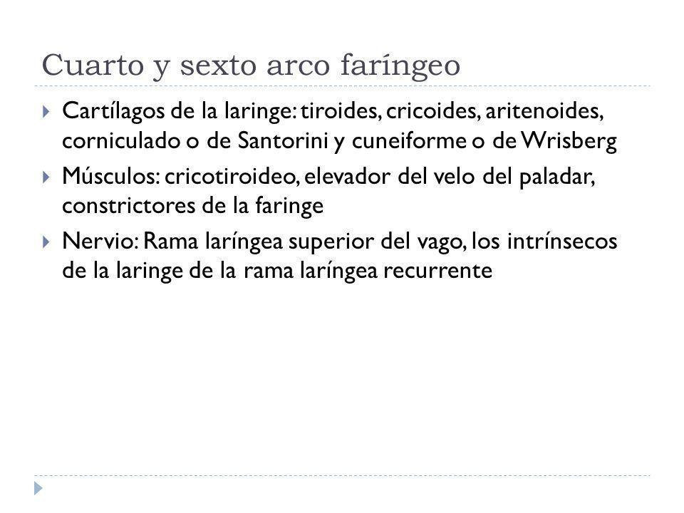 Cuarto y sexto arco faríngeo Cartílagos de la laringe: tiroides, cricoides, aritenoides, corniculado o de Santorini y cuneiforme o de Wrisberg Músculos: cricotiroideo, elevador del velo del paladar, constrictores de la faringe Nervio: Rama laríngea superior del vago, los intrínsecos de la laringe de la rama laríngea recurrente