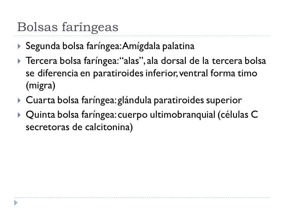 Bolsas faríngeas Segunda bolsa faríngea: Amígdala palatina Tercera bolsa faríngea: alas, ala dorsal de la tercera bolsa se diferencia en paratiroides inferior, ventral forma timo (migra) Cuarta bolsa faríngea: glándula paratiroides superior Quinta bolsa faríngea: cuerpo ultimobranquial (células C secretoras de calcitonina)
