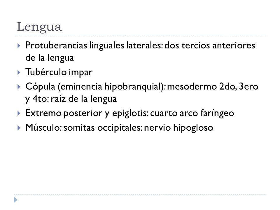 Lengua Protuberancias linguales laterales: dos tercios anteriores de la lengua Tubérculo impar Cópula (eminencia hipobranquial): mesodermo 2do, 3ero y 4to: raíz de la lengua Extremo posterior y epiglotis: cuarto arco faríngeo Músculo: somitas occipitales: nervio hipogloso