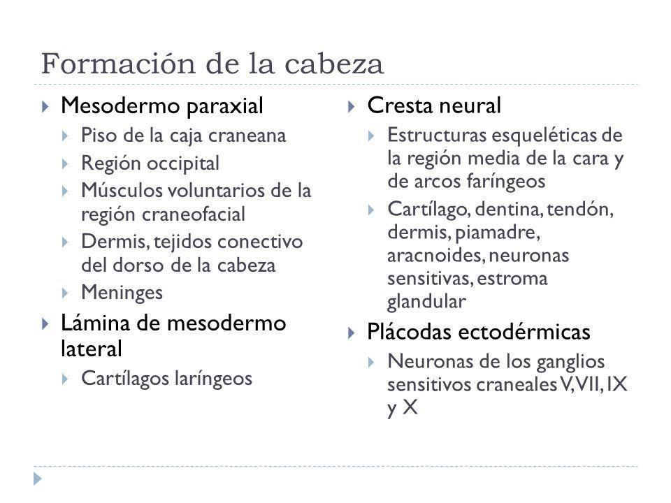 Formación de la cabeza Mesodermo paraxial Piso de la caja craneana Región occipital Músculos voluntarios de la región craneofacial Dermis, tejidos conectivo del dorso de la cabeza Meninges Lámina de mesodermo lateral Cartílagos laríngeos Cresta neural Estructuras esqueléticas de la región media de la cara y de arcos faríngeos Cartílago, dentina, tendón, dermis, piamadre, aracnoides, neuronas sensitivas, estroma glandular Plácodas ectodérmicas Neuronas de los ganglios sensitivos craneales V, VII, IX y X
