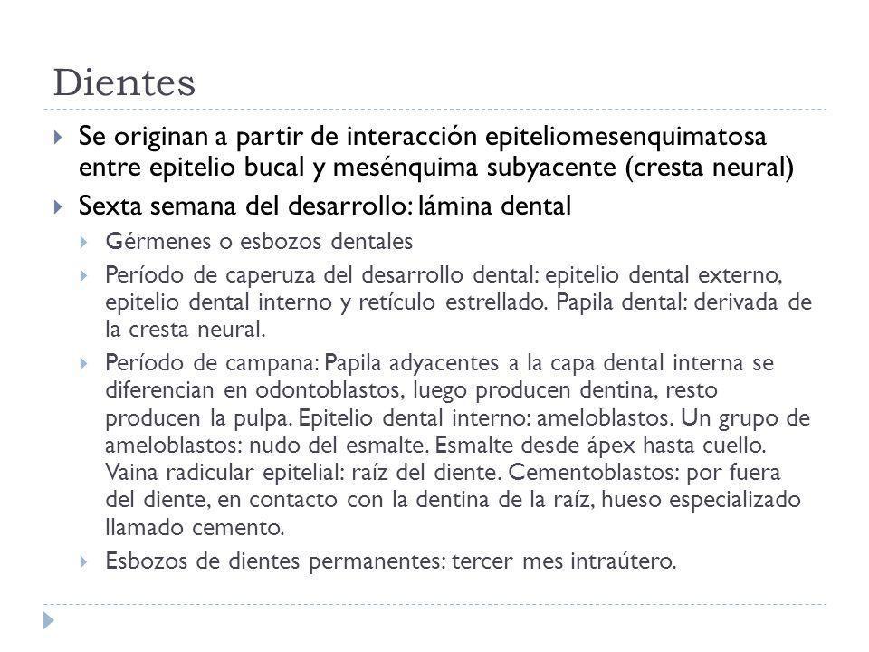 Dientes Se originan a partir de interacción epiteliomesenquimatosa entre epitelio bucal y mesénquima subyacente (cresta neural) Sexta semana del desar