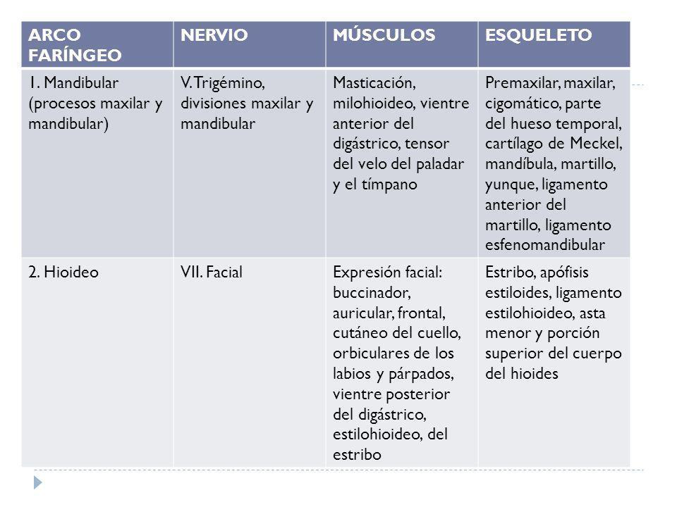 ARCO FARÍNGEO NERVIOMÚSCULOSESQUELETO 1. Mandibular (procesos maxilar y mandibular) V. Trigémino, divisiones maxilar y mandibular Masticación, milohio