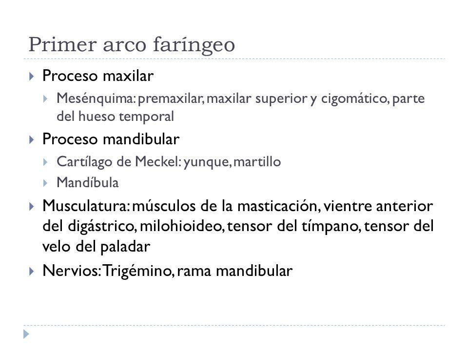 Primer arco faríngeo Proceso maxilar Mesénquima: premaxilar, maxilar superior y cigomático, parte del hueso temporal Proceso mandibular Cartílago de M