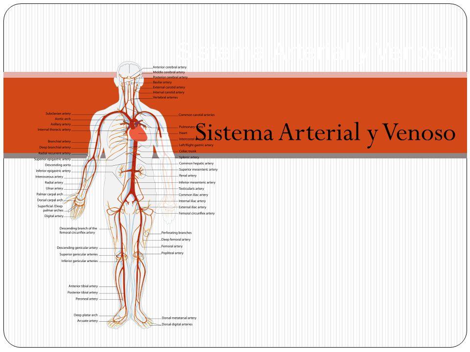 Función Principal El sistema circulatorio, compuesto por arterias y venas, es fundamental para mantener la vida.