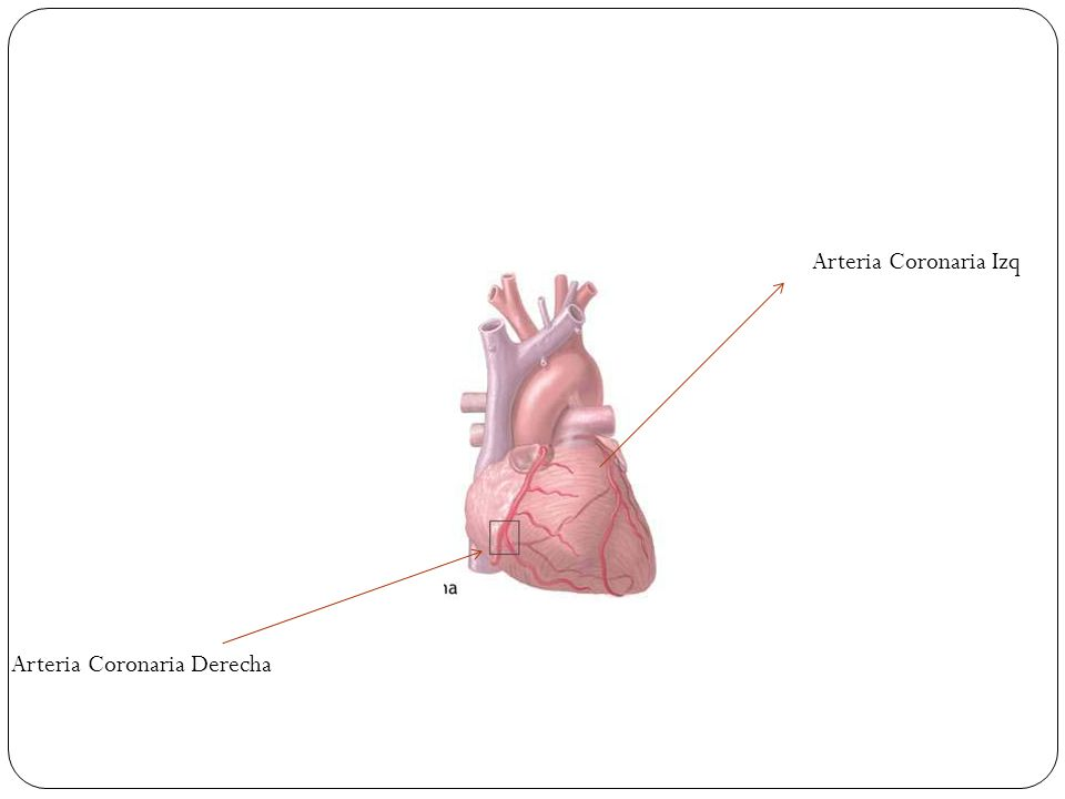 Arteria Coronaria Izq Arteria Coronaria Derecha