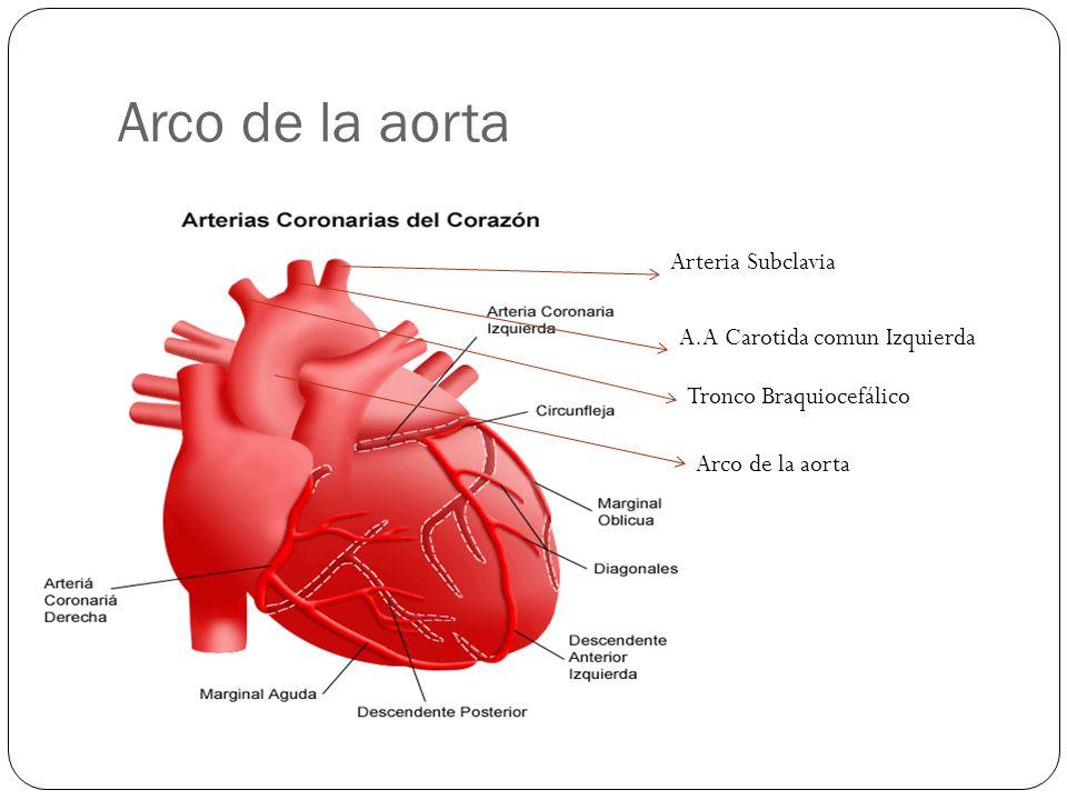 Arco de la aorta Tronco Braquiocefálico A.A Carotida comun Izquierda Arteria Subclavia