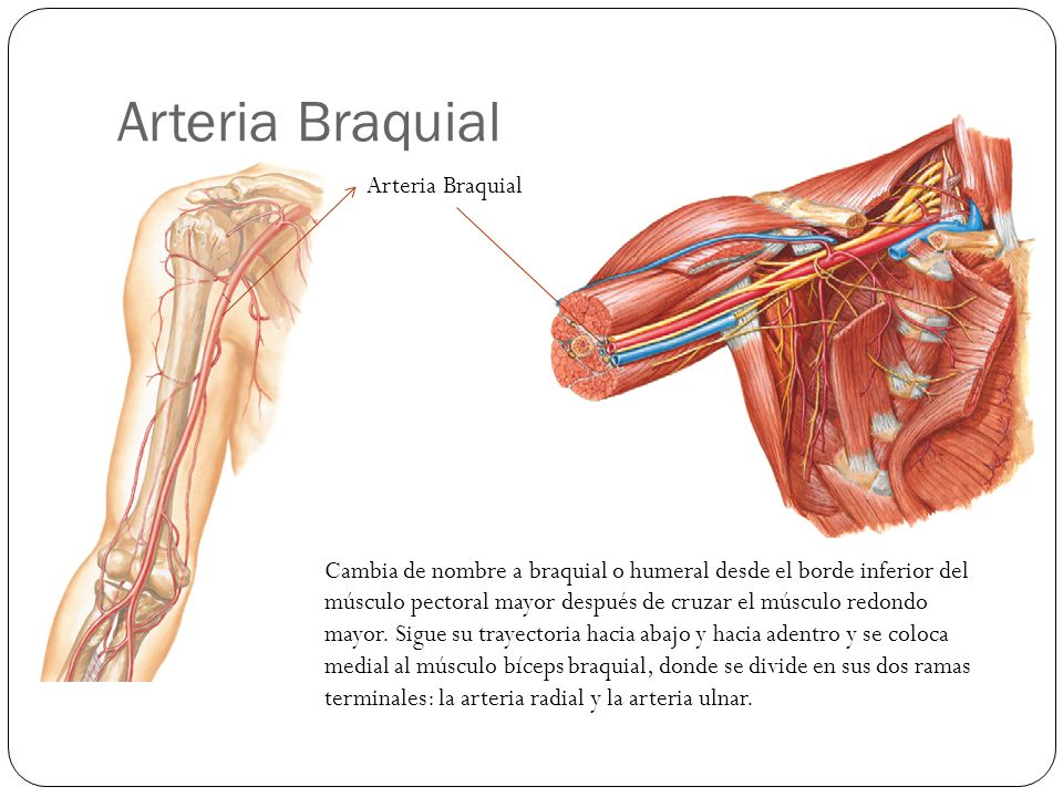 Bonito La Imagen De La Arteria Braquial Embellecimiento - Imágenes ...