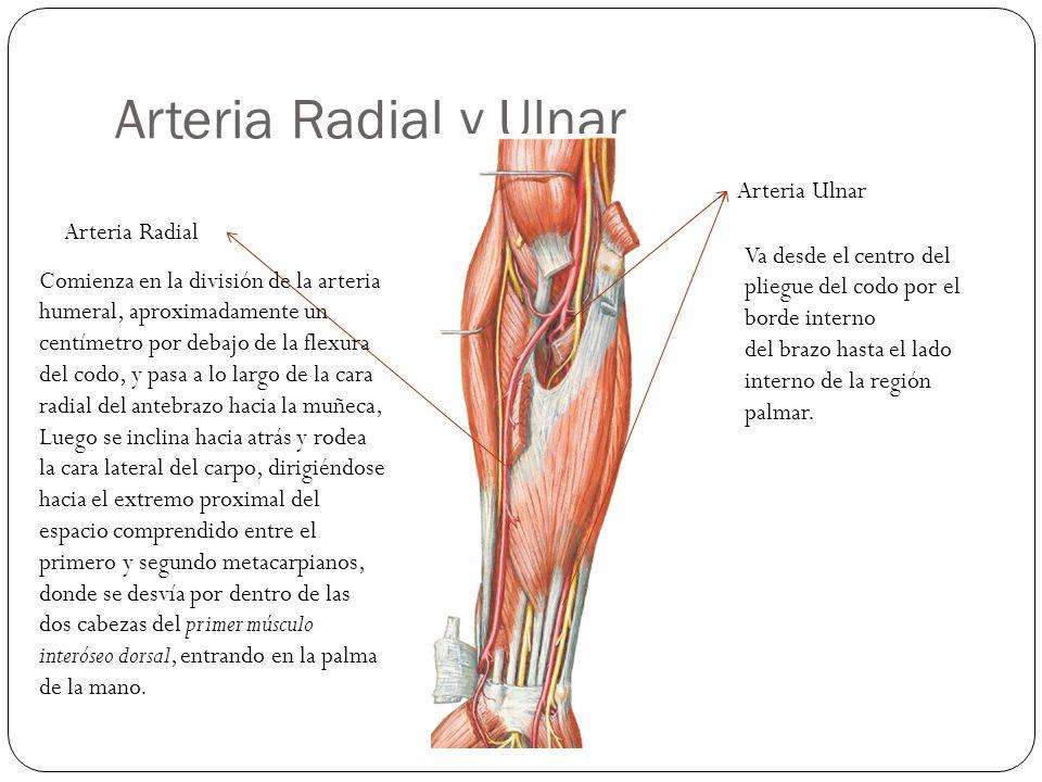 Arteria Radial y Ulnar Arteria Ulnar Arteria Radial Comienza en la división de la arteria humeral, aproximadamente un centímetro por debajo de la flexura del codo, y pasa a lo largo de la cara radial del antebrazo hacia la muñeca, Luego se inclina hacia atrás y rodea la cara lateral del carpo, dirigiéndose hacia el extremo proximal del espacio comprendido entre el primero y segundo metacarpianos, donde se desvía por dentro de las dos cabezas del primer músculo interóseo dorsal, entrando en la palma de la mano.