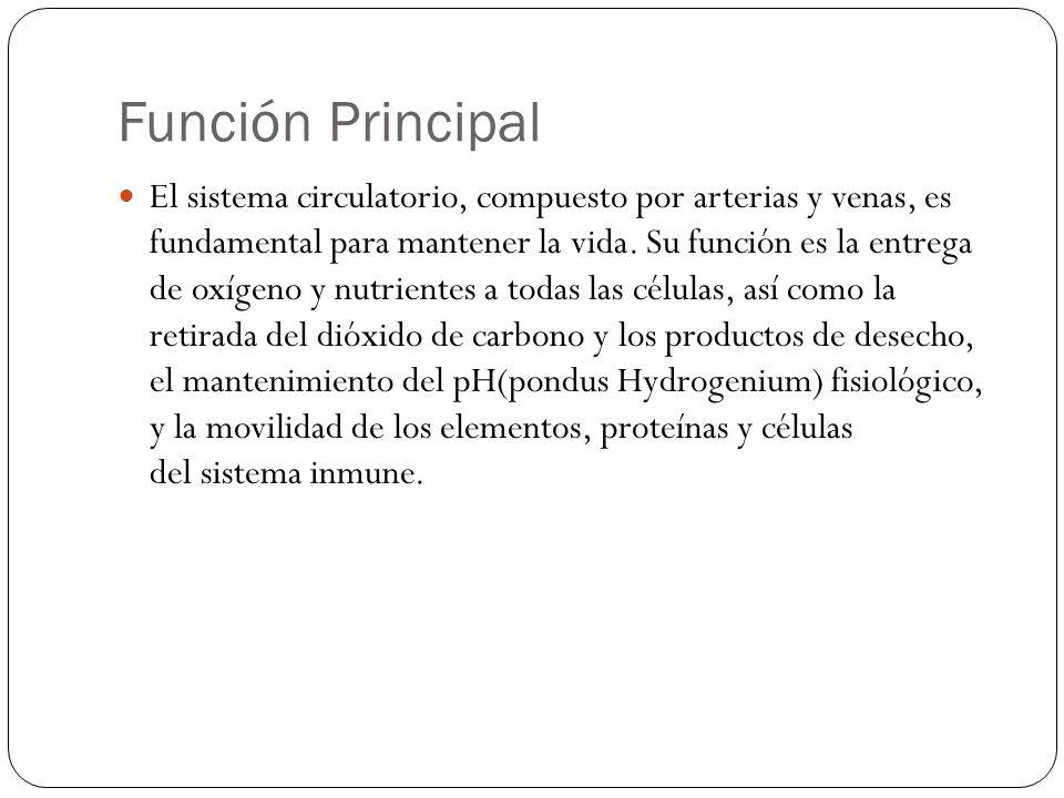 Red Venosa de la Extremidad Inferior Vv femoral Prolongación de la Vv poplítea