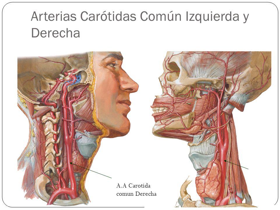 Arterias Carótidas Común Izquierda y Derecha A.A Carotida comun Derecha