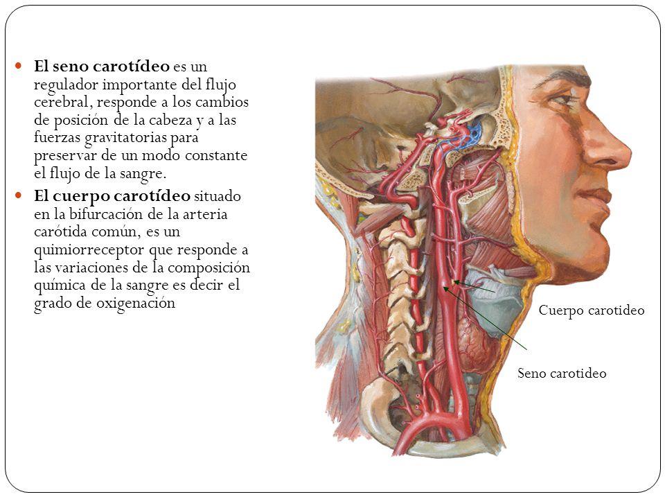 El seno carotídeo es un regulador importante del flujo cerebral, responde a los cambios de posición de la cabeza y a las fuerzas gravitatorias para preservar de un modo constante el flujo de la sangre.