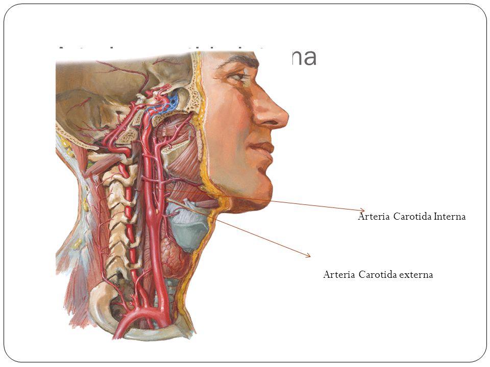 Arteria carotida Interna Arteria Carotida Interna Arteria Carotida externa