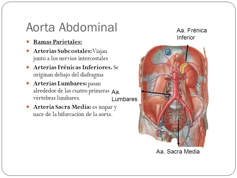 Aorta Abdominal Ramas Parietales: Arterias Subcostales: Viajan junto a los nervios intercostales Arterias Frénicas Inferiores.