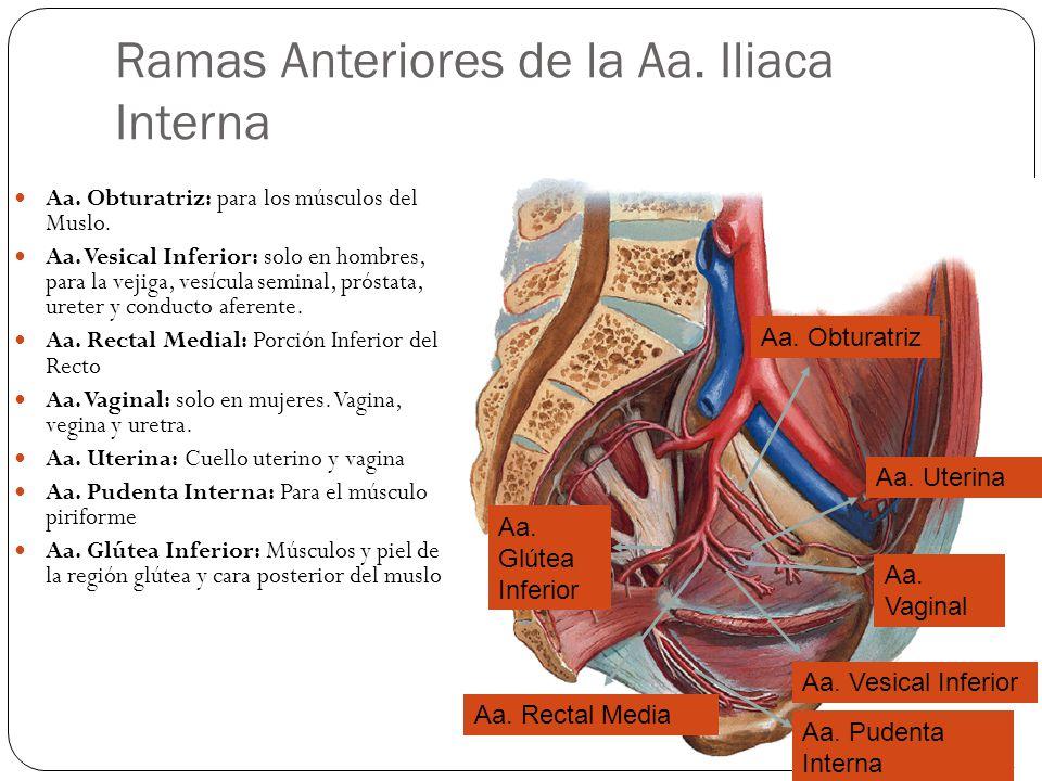 Ramas Anteriores de la Aa.Iliaca Interna Aa. Obturatriz: para los músculos del Muslo.