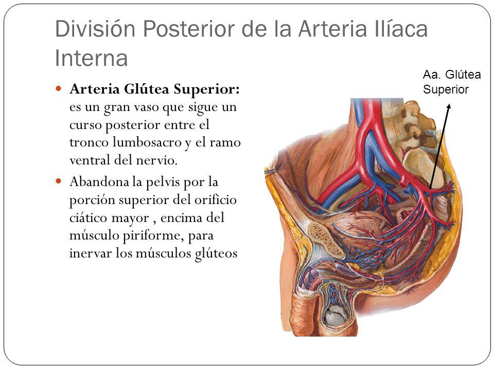 División Posterior de la Arteria Ilíaca Interna Arteria Glútea Superior: es un gran vaso que sigue un curso posterior entre el tronco lumbosacro y el ramo ventral del nervio.