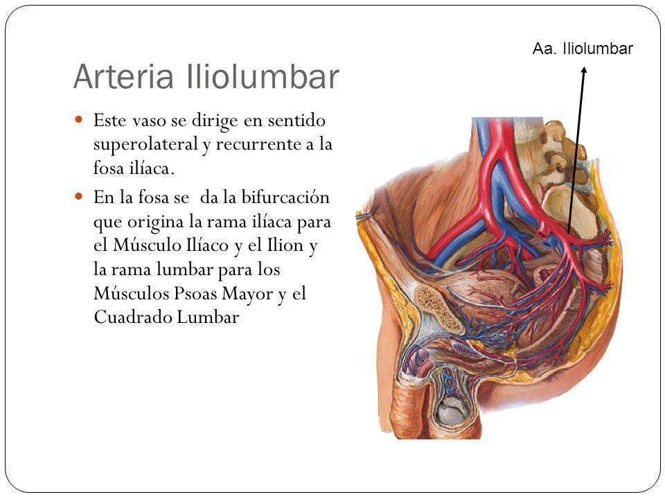 Arteria Iliolumbar Este vaso se dirige en sentido superolateral y recurrente a la fosa ilíaca.