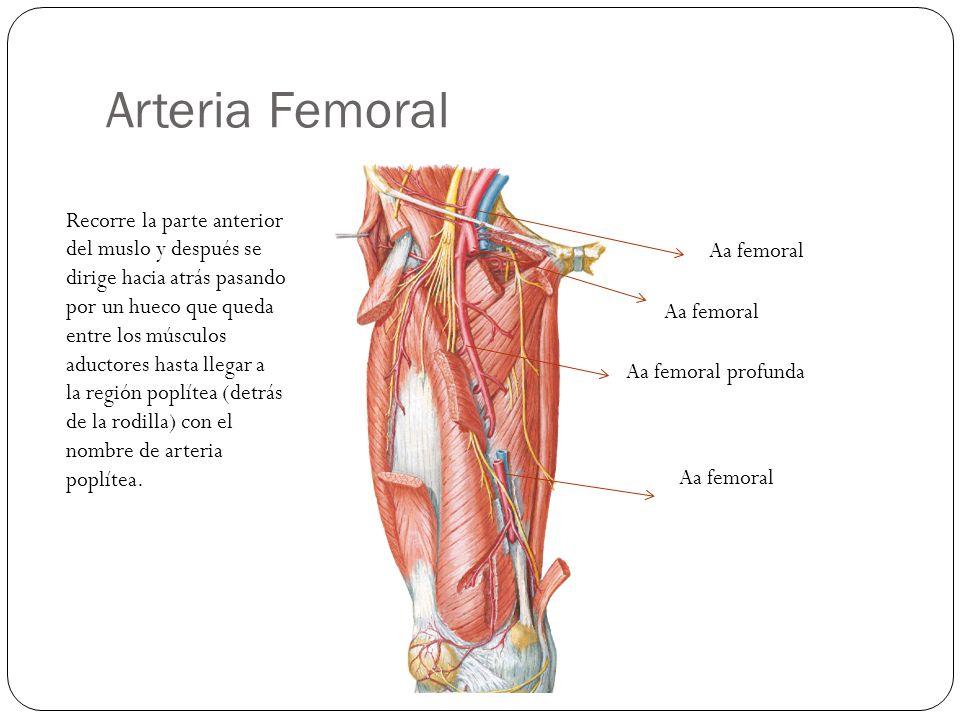 Arteria Femoral Aa femoral Aa femoral profunda Aa femoral Recorre la parte anterior del muslo y después se dirige hacia atrás pasando por un hueco que queda entre los músculos aductores hasta llegar a la región poplítea (detrás de la rodilla) con el nombre de arteria poplítea.