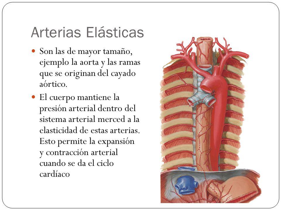 Venas Las venas devuelven la sangre de los lechos capilares al corazón.