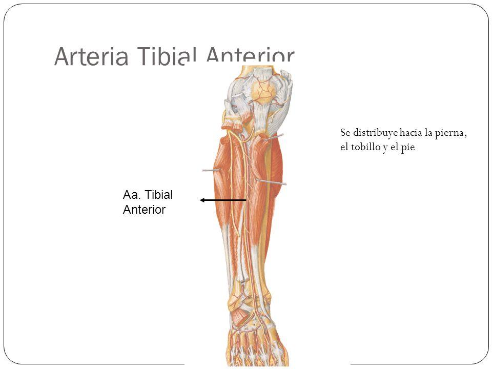 Arteria Tibial Anterior Aa. Tibial Anterior Se distribuye hacia la pierna, el tobillo y el pie