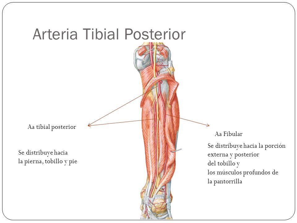 Arteria Tibial Posterior Aa tibial posterior Aa Fibular Se distribuye hacia la pierna, tobillo y pie Se distribuye hacia la porción externa y posterior del tobillo y los músculos profundos de la pantorrilla